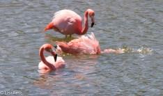 american-flamingos-07-13-2016-9110