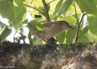 green-warbler-finch-07-13-2016-8887