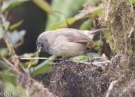 woodpecker-finch-07-13-2016-8784