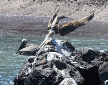 blue-footed-booby-and-brown-pelican-07-15-2016-6872