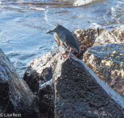 lava-heron-07-15-2016-7008