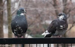 pied-pigeons-millennium-1-19-17-6378
