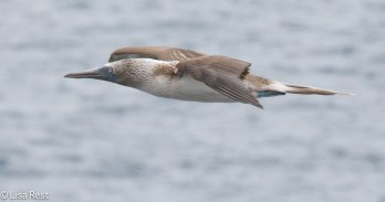 blue-footed-booby-07-16-2016-7617