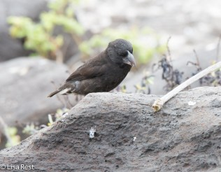 large-cactus-finch-07-16-2016-7520