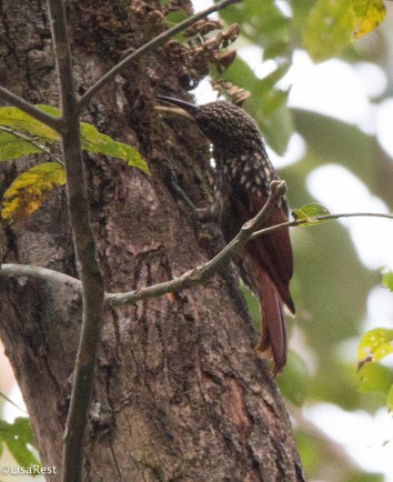 Black-Striped Woodcreeper 3-14-17-2436