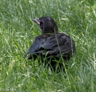 Fledge Crow 07-11-17-0994