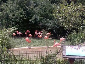 We watched these pink flamingo do a funny dance by splashing their feet in the water and blowing bubbles in the water with their noses!