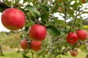 nashville fall fun apple picking