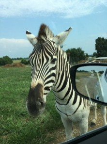 family-fun-staycation-tennessee-safari-park