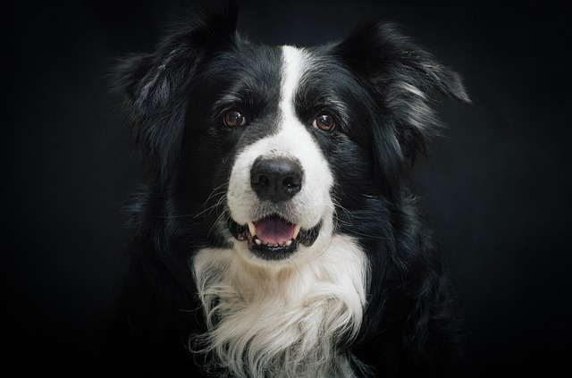 Border Collie - just for fun