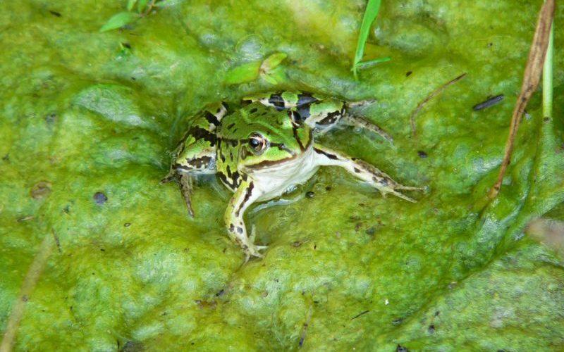 Frosch ohne Locken. Foto: Hufner