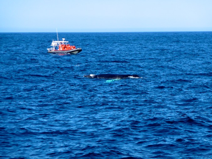 Lonely Humpback Whale - I was lucky enough to catch a humpback even though it's not really the season for it.
