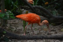 The ibis.