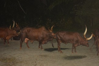 The wild buffaloes.