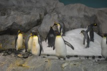 The emperor penguins.