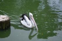 The Australian Pelican.