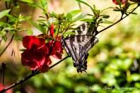 Butterfly on an Azalea