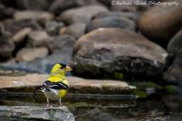 Male American Finch