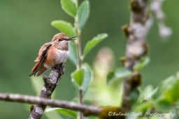Rufous Hummingbird at Large No. 3