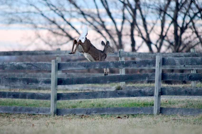 Deer over the fence