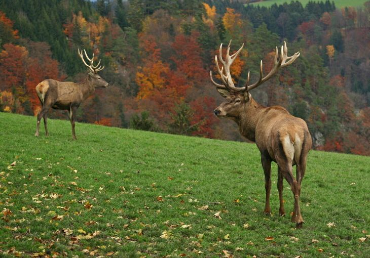 How Much Does A Deer Weigh