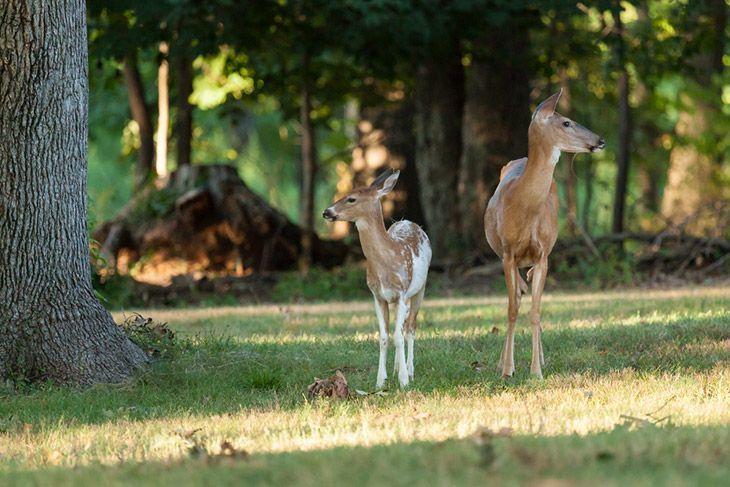Should You Hunt Piebald Deer