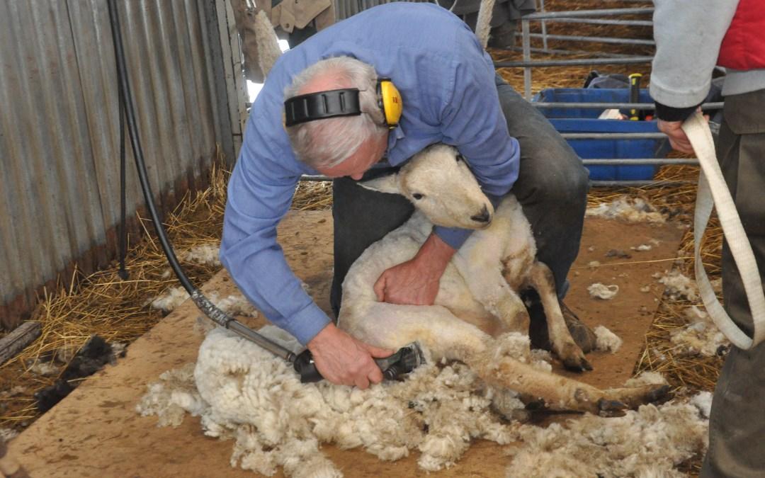 Årets fårklippning