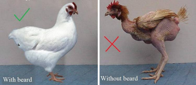 """""""Please brothers! BEARDS show you are healthy, just like FEATHERS show birds are healthy."""""""