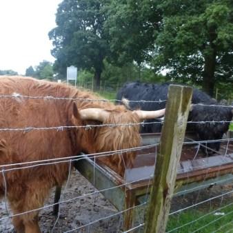 17. W drodze nad jezioro Loch Ness - krowy z grzywkami