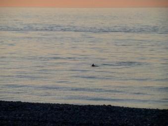 Delfin (bo chyba nie rekin)