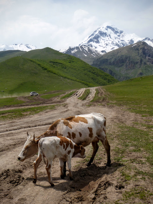 11-kazbek-i-krowy