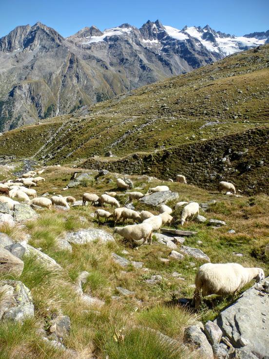 25-owce-na-szlaku