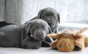 Labradore sind ein fester und wichtiger Bestandteil unseres Familienlebens.