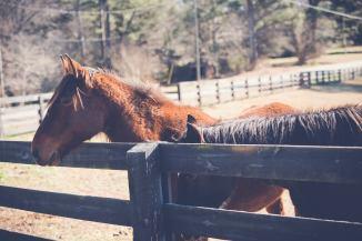 Flicka (mustang mare)