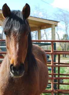 Cheyenne is a 20 year old bay mare with a real presence. She was captured September 19th, 2000 in the Delamar Mountains of Nevada.