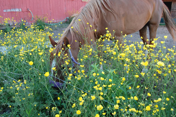 horse enjoying flowers
