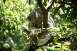 More koala time in September. This time at the Taronga Zoo.
