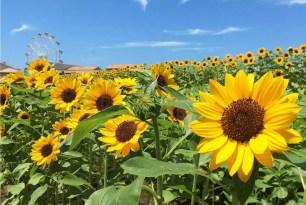 6種類約10萬株的向日葵~預計7月中旬將盛開於「長井海之手公園 太陽之丘」