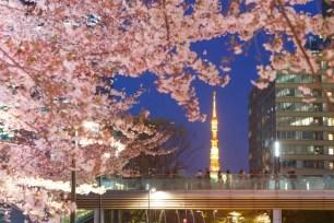 熱門賞櫻景點☆Tokyo Midtown-東京中城♪2020年夜櫻點燈開始實施