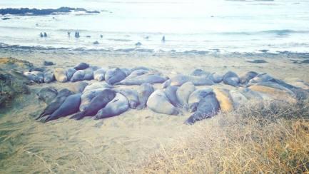 Elephant seal rookery california