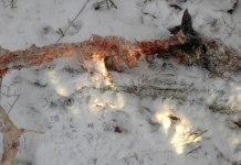 В карельском поселке Кепа волки открыли сезон охоты на собак. Фото: Вероника Исаченко