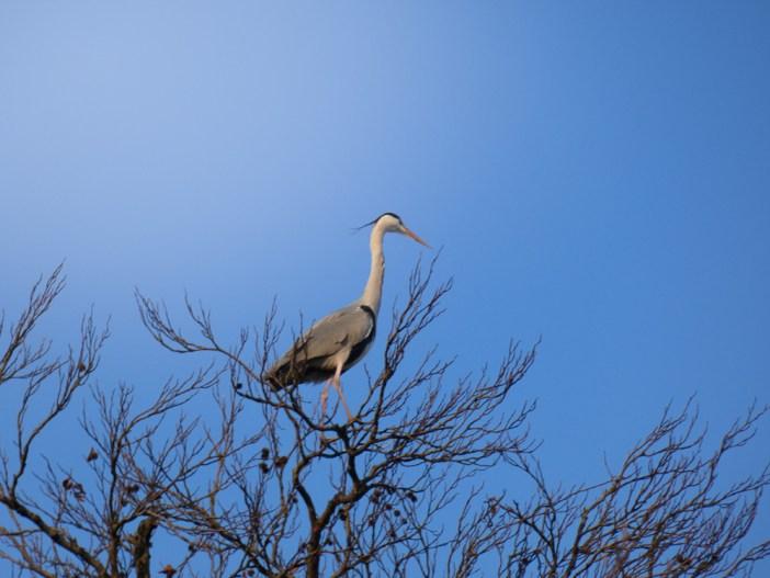 Water Museum in the Netherlands. Blue Heron in tree