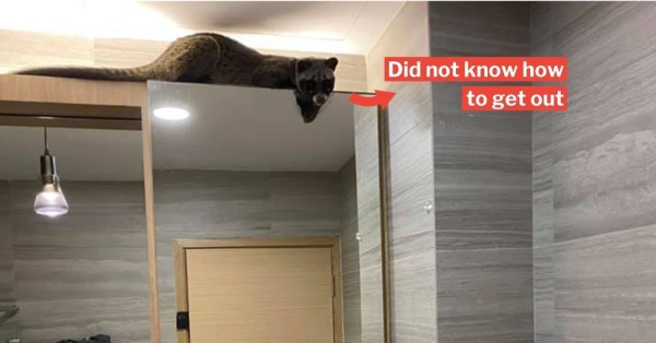 Civet Cat Sneaks Into Home At Thomson, Lepaks In Bathroom For 2 Hours