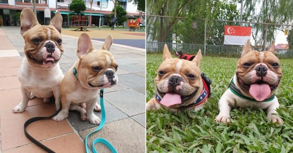 2 Dogs Die Of Heatstroke After S'pore Trainer Leaves Them In Car, AVS Investigating Incident