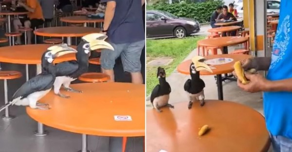 2 Hornbills Seek Food At Hawker Centre In S'pore, Man Feeds Them Banana