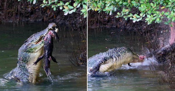 Huge Croc Gobbles Up Monitor Lizard In Sungei Buloh As Man Captures Epic Feast On Camera