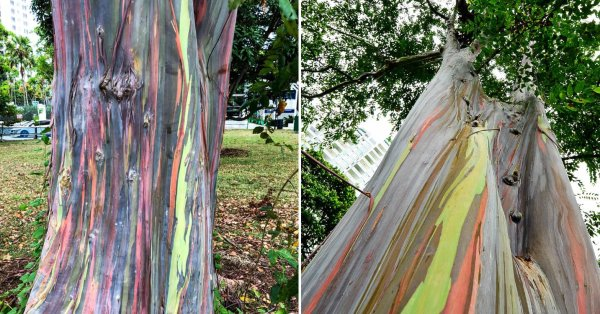 Tree With Rainbow Bark Found In Katong, Looks Like Melted Paddle Pop