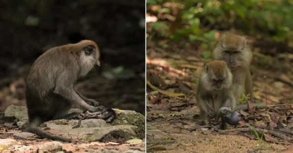MacRitchie Macaque Holds Lifeless Baby In Her Arms, Sombre Sight Breaks Our Hearts