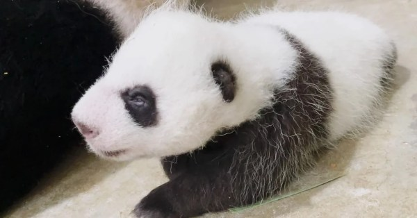 S'pore Panda Cub Opens His Eyes 40 Days After Birth, Weighs Almost 2kg Now