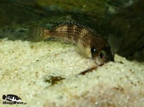 Lamprologus meleagris - samica z samica przy muszli